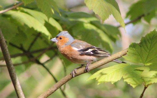 Welche Vögel singen im Frühling?