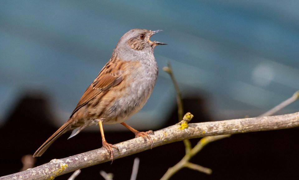 Vögel singen im Frühling