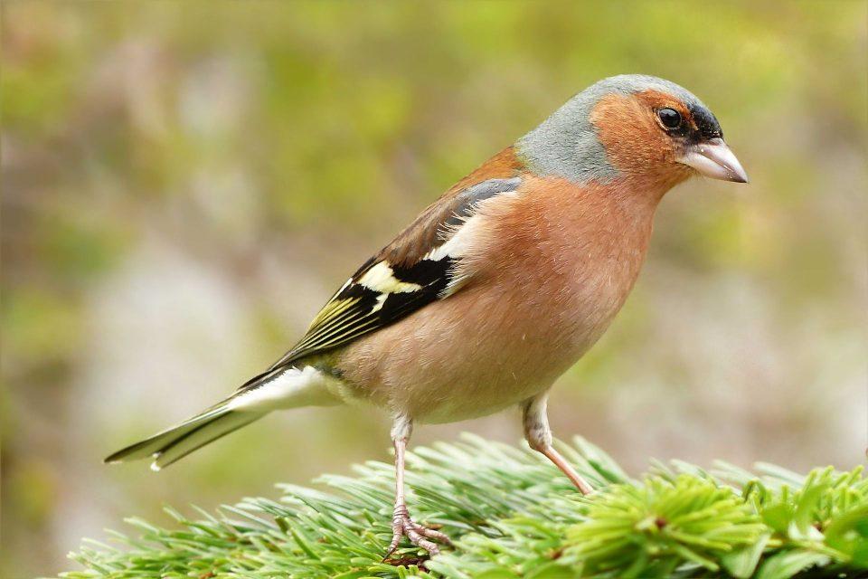 Vögel singen