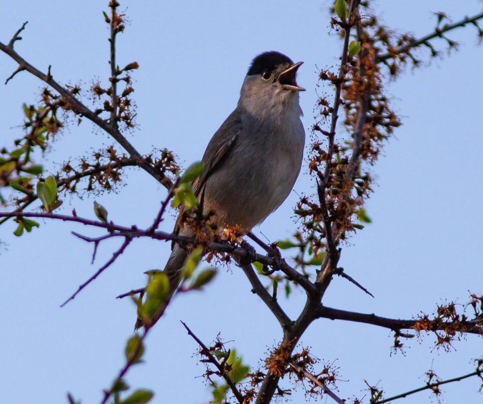 Vogel mit schwarzer Kappe