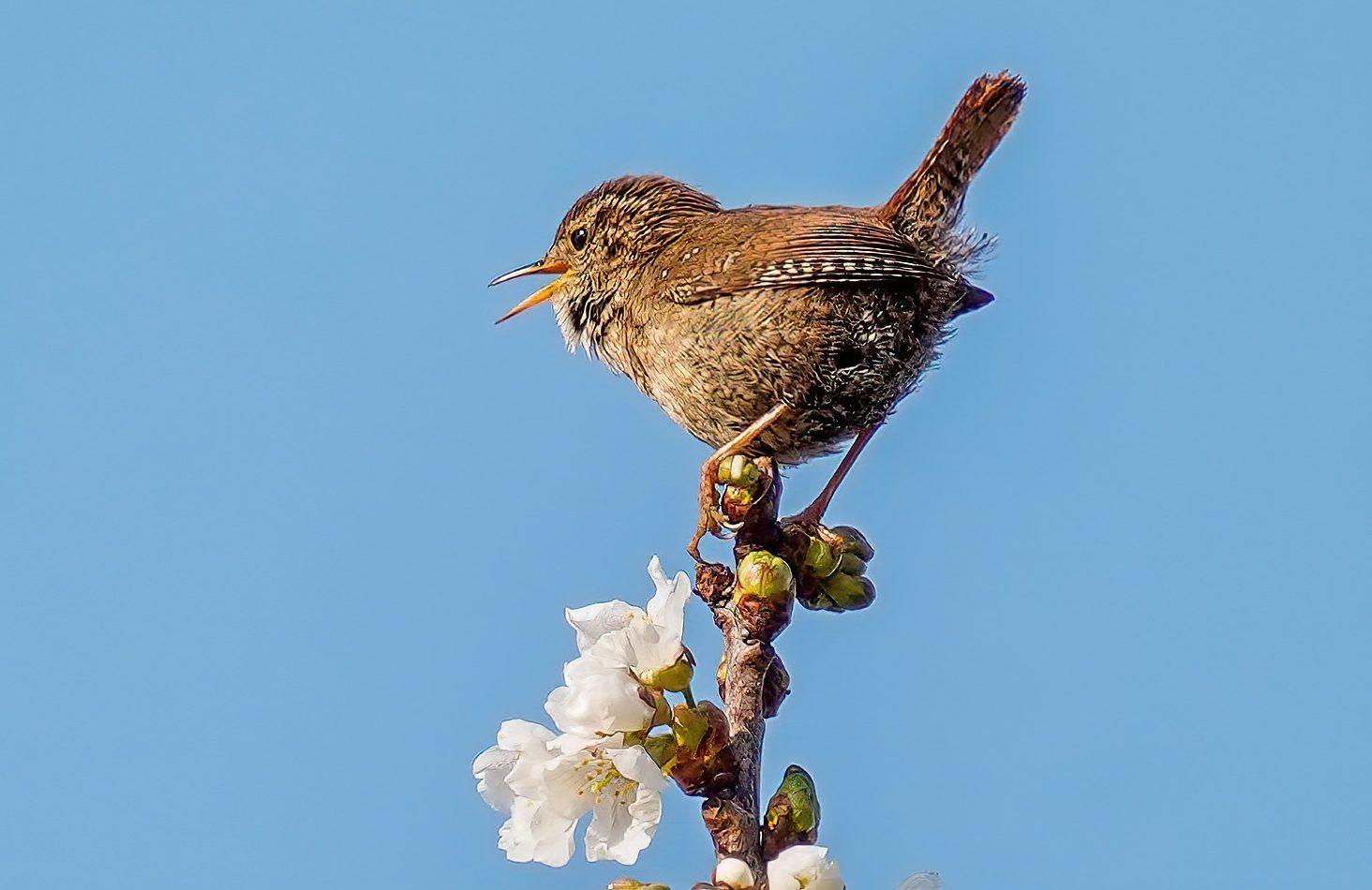 Wenn Vögel singen